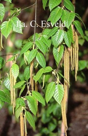桦木属植物的药用研究.pdf