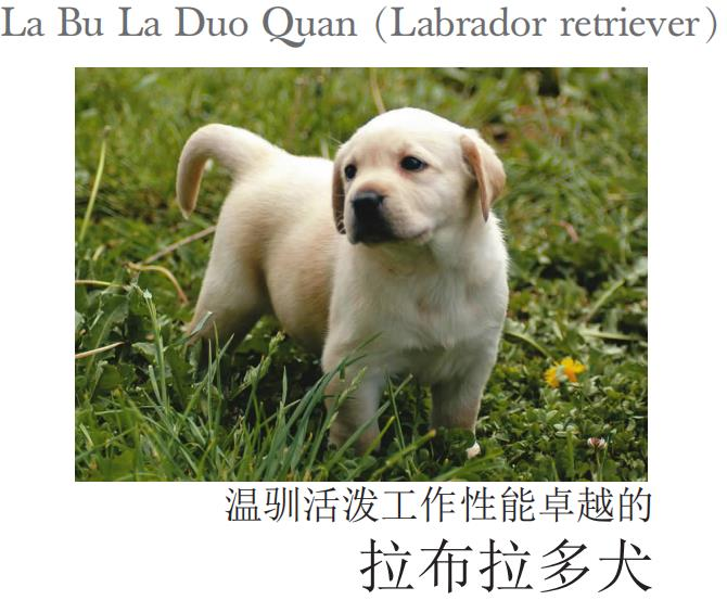 拉布拉多犬.危义春.pdf
